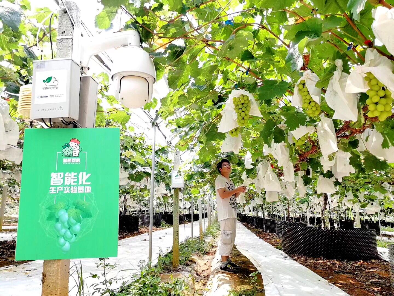天润飞华生产实验基地从种到销,高品质阳光玫瑰上架香港商超