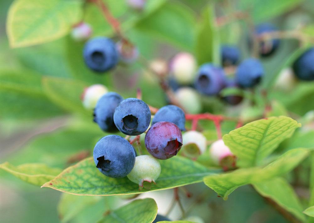 佳沃曲靖蓝莓开启农产品溯源,打造信誉品牌,赢得市场信赖