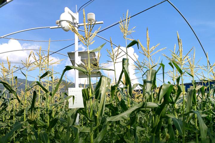 """""""微玉水果玉米""""不仅是味蕾的创新,更是标准种植管理的升级"""