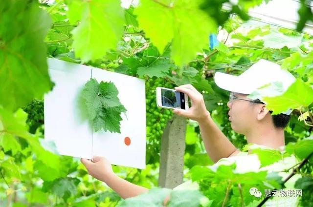 """""""机器""""代替资深农技员,葡萄管家为其节约服务费近15万"""